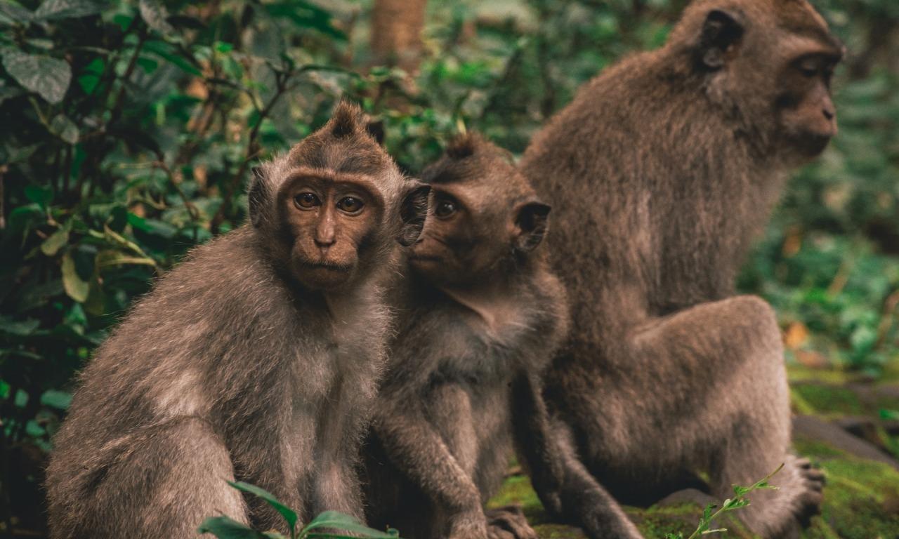 La cultura degli scimpanzé
